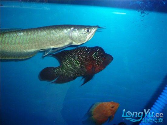 【西安最大的水族市场】请大家评评 刚请的 三条小龙 西安观赏鱼信息 西安博特第2张