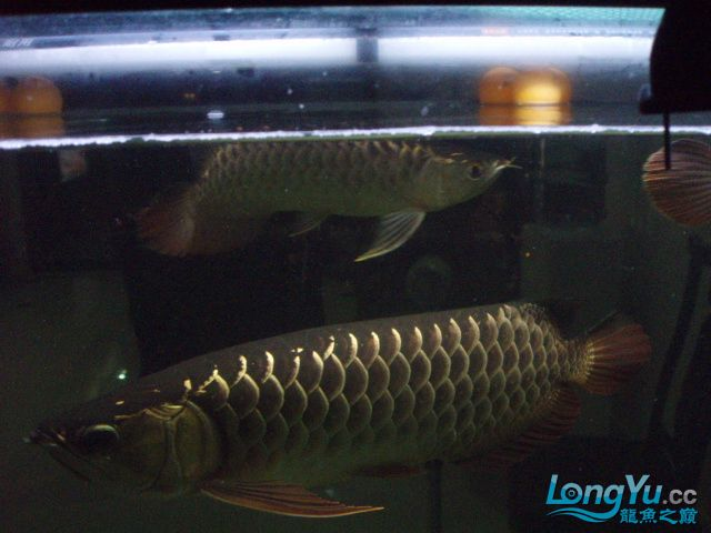 我的5龙【西安最大花鸟市场】混养 西安观赏鱼信息 西安博特第1张