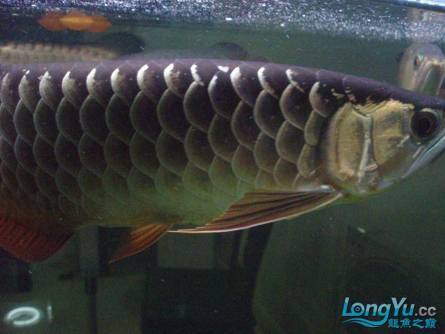 我的5龙【西安最大花鸟市场】混养 西安观赏鱼信息 西安博特第2张