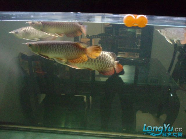 我的5龙【西安最大花鸟市场】混养 西安观赏鱼信息 西安博特第3张