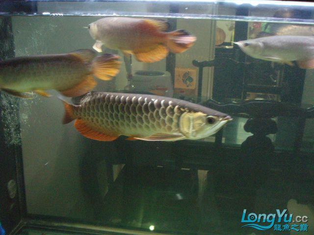 我的5龙【西安最大花鸟市场】混养 西安观赏鱼信息 西安博特第4张
