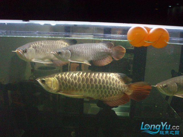 我的5龙【西安最大花鸟市场】混养 西安观赏鱼信息 西安博特第6张