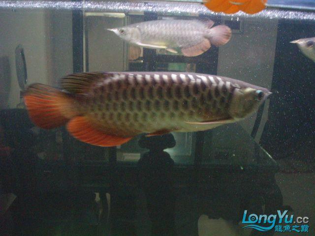 我的5龙【西安最大花鸟市场】混养 西安观赏鱼信息 西安博特第7张