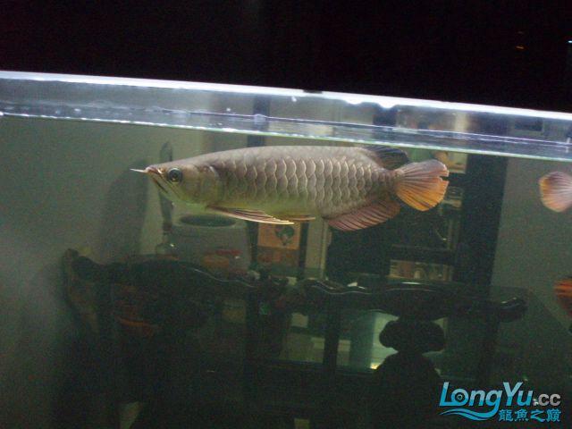 我的5龙【西安最大花鸟市场】混养 西安观赏鱼信息 西安博特第9张