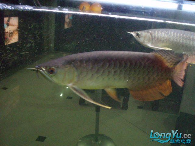 我的5龙【西安最大花鸟市场】混养 西安观赏鱼信息 西安博特第10张
