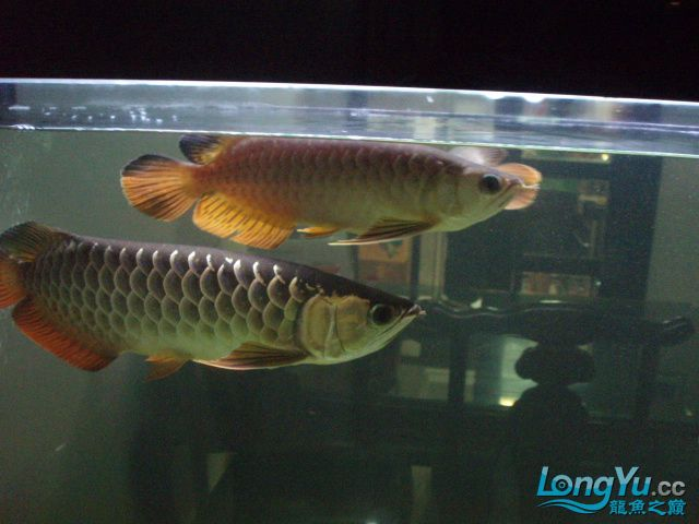 我的5龙【西安最大花鸟市场】混养 西安观赏鱼信息 西安博特第8张