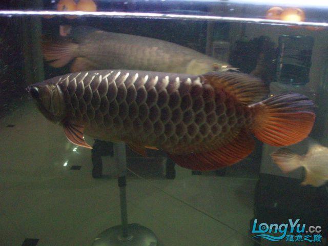 我的5龙【西安最大花鸟市场】混养 西安观赏鱼信息 西安博特第11张