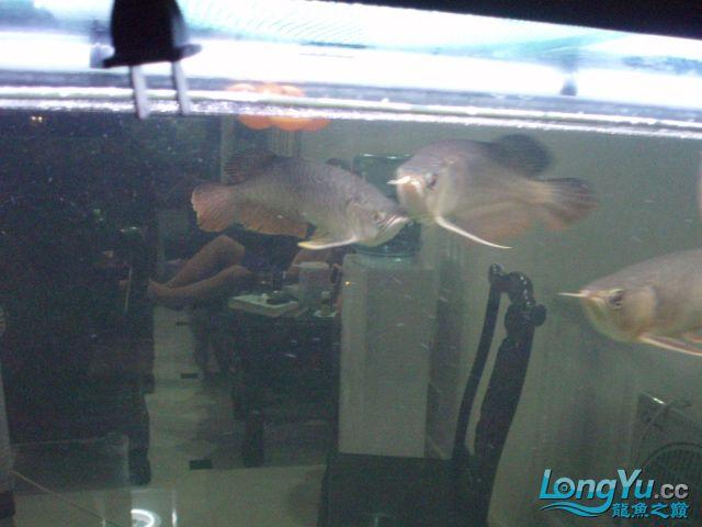 我的5龙【西安最大花鸟市场】混养 西安观赏鱼信息 西安博特第12张