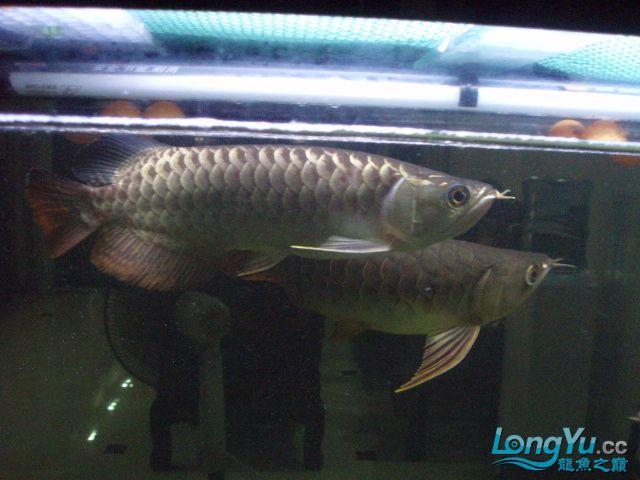 我的5龙【西安最大花鸟市场】混养 西安观赏鱼信息 西安博特第13张