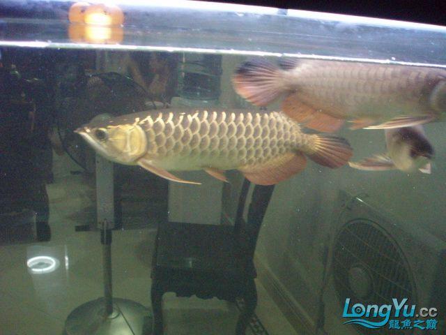 我的5龙【西安最大花鸟市场】混养 西安观赏鱼信息 西安博特第15张