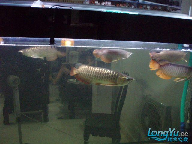我的5龙【西安最大花鸟市场】混养 西安观赏鱼信息 西安博特第14张
