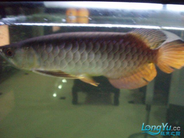 我的5龙【西安最大花鸟市场】混养 西安观赏鱼信息 西安博特第17张