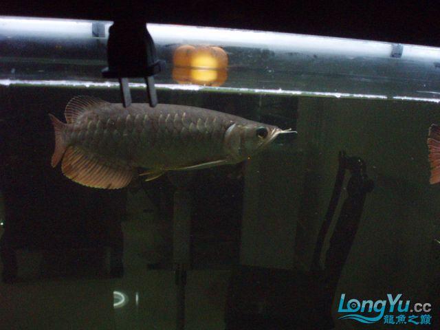 我的5龙【西安最大花鸟市场】混养 西安观赏鱼信息 西安博特第16张