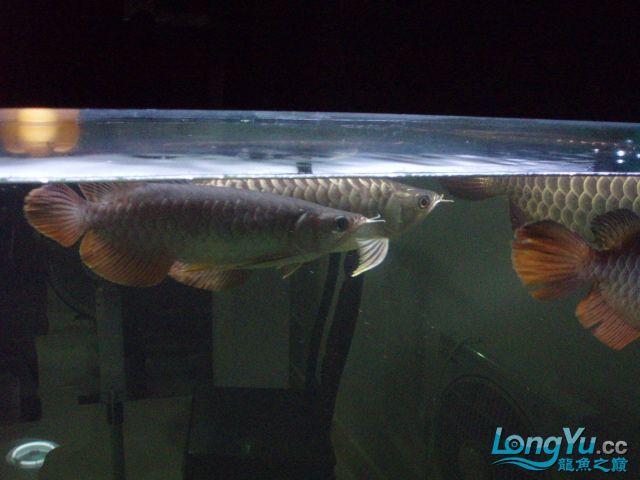 我的5龙【西安最大花鸟市场】混养 西安观赏鱼信息 西安博特第18张