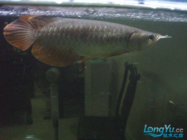 我的5龙【西安最大花鸟市场】混养 西安观赏鱼信息 西安博特第19张