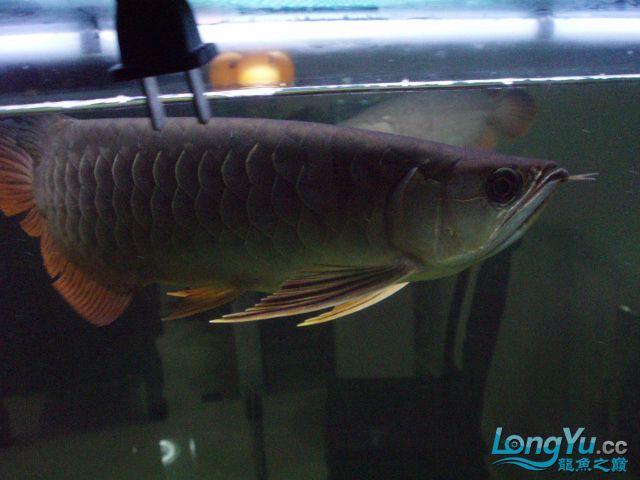 我的5龙【西安最大花鸟市场】混养 西安观赏鱼信息 西安博特第20张