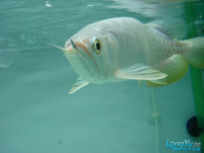 龙龙到家40天了。。拍照纪念。。。 西安观赏鱼信息 西安博特第3张