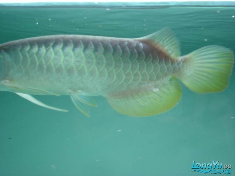 龙龙到家40天了。。拍照纪念。。。 西安观赏鱼信息 西安博特第7张