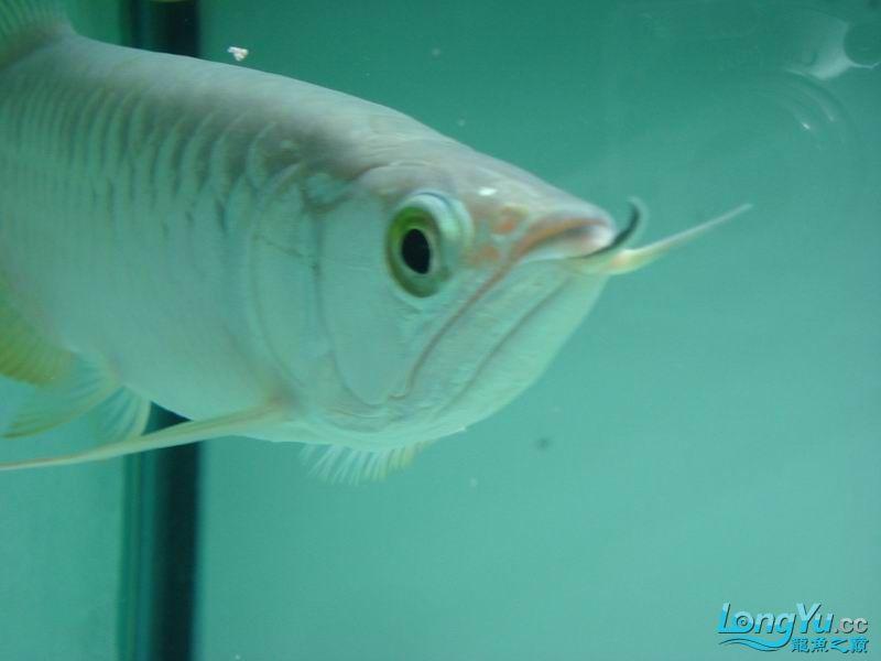 龙龙到家40天了。。拍照纪念。。。 西安观赏鱼信息 西安博特第6张