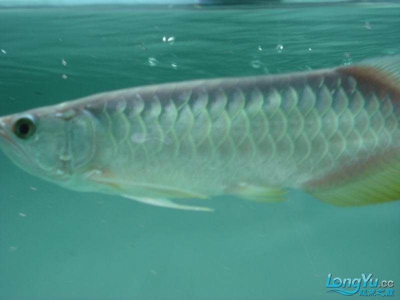龙龙到家40天了。。拍照纪念。。。 西安观赏鱼信息 西安博特第8张