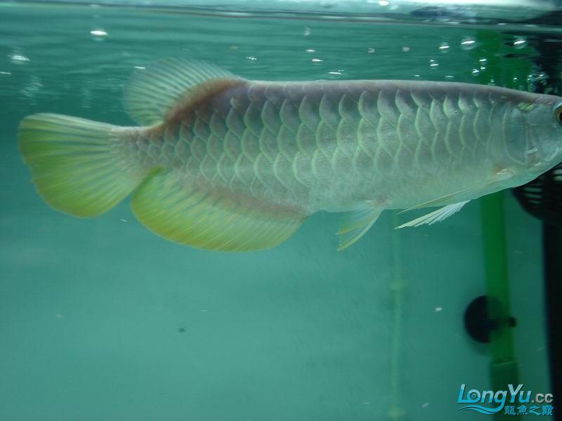 龙龙到家40天了。。拍照纪念。。。 西安观赏鱼信息 西安博特第10张