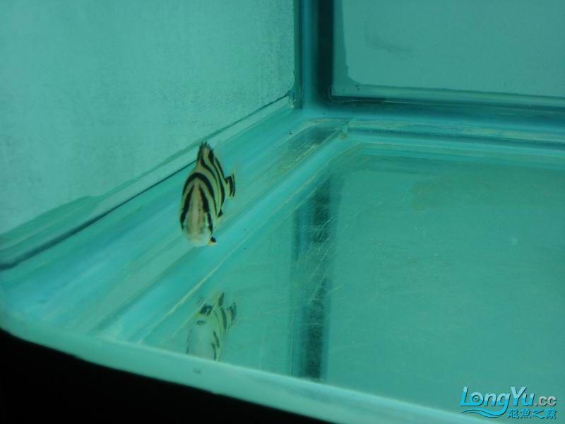龙龙到家40天了。。拍照纪念。。。 西安观赏鱼信息 西安博特第12张