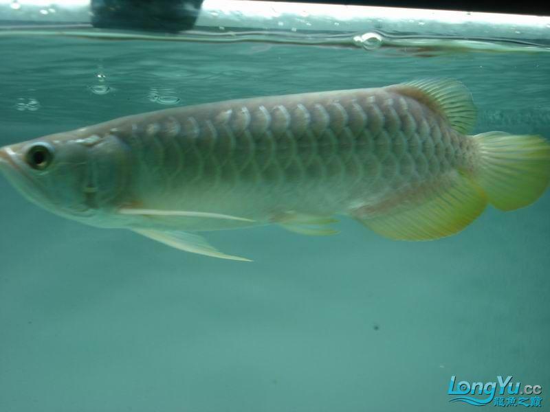 龙龙到家40天了。。拍照纪念。。。 西安观赏鱼信息 西安博特第15张