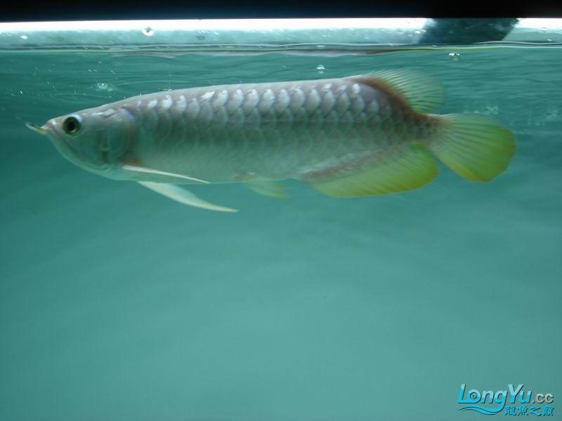 龙龙到家40天了。。拍照纪念。。。 西安观赏鱼信息 西安博特第18张