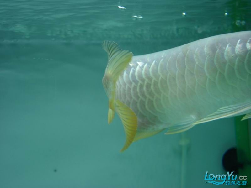 龙龙到家40天了。。拍照纪念。。。 西安观赏鱼信息 西安博特第30张