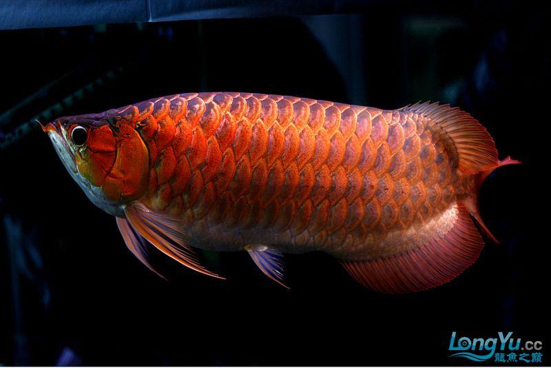 它们如此的美丽,如此迷人!(怕中毒者勿入) 西安观赏鱼信息 西安博特第5张