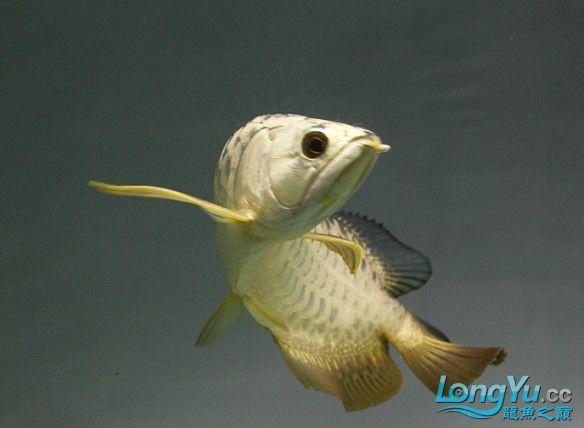 有聚龙阁金龙欢迎定购。谢谢 西安观赏鱼信息 西安博特第1张