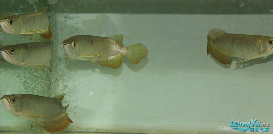 有聚龙阁金龙欢迎定购。谢谢 西安观赏鱼信息 西安博特第2张