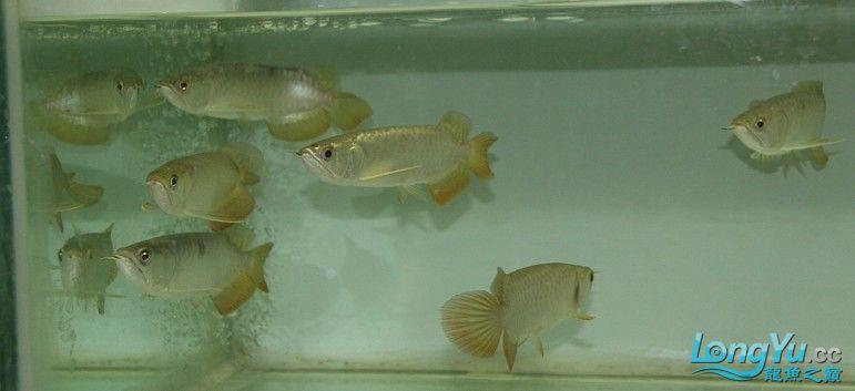 有聚龙阁金龙欢迎定购。谢谢 西安观赏鱼信息 西安博特第3张