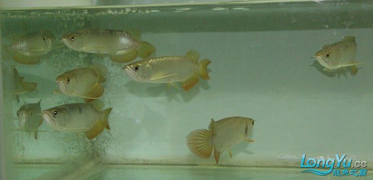 有聚龙阁金龙欢迎定购。谢谢 西安观赏鱼信息 西安博特第5张