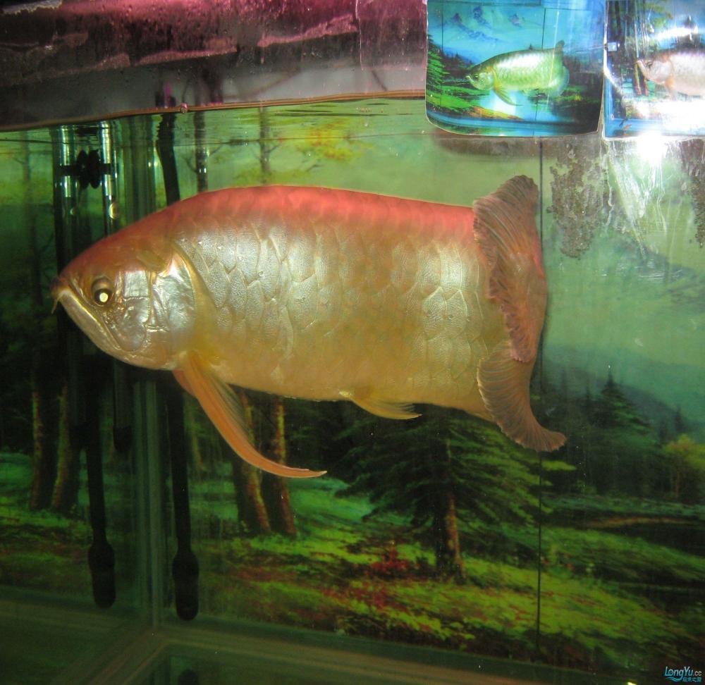 本人养了一条龙鱼12年。身长65公分。请各位高手帮忙签定是什么品种? 西安观赏鱼信息 西安博特第2张