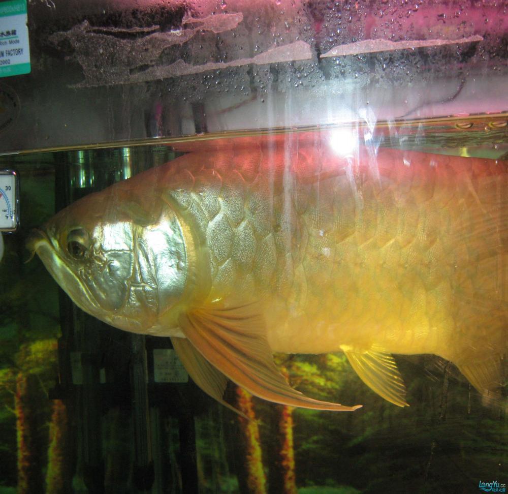 本人养了一条龙鱼12年。身长65公分。请各位高手帮忙签定是什么品种? 西安观赏鱼信息 西安博特第4张
