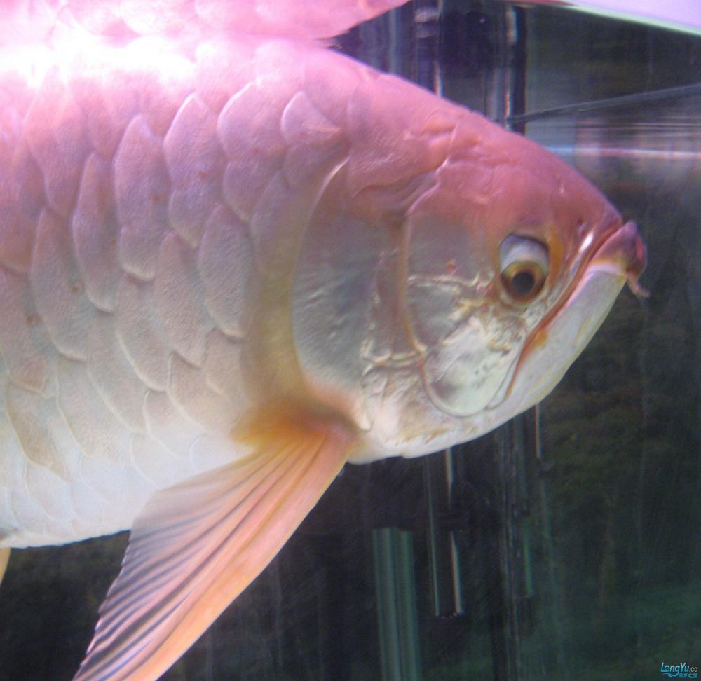 本人养了一条龙鱼12年。身长65公分。请各位高手帮忙签定是什么品种? 西安观赏鱼信息 西安博特第5张