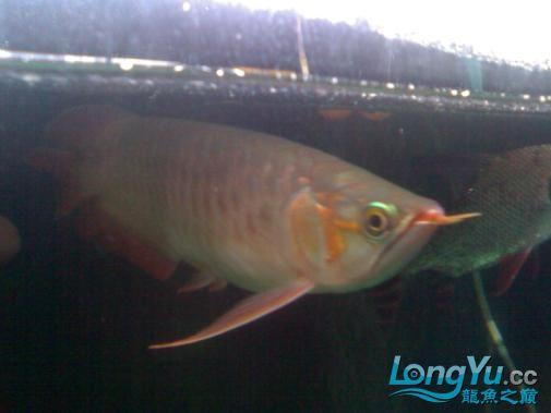 【西安哪个水族馆有金龙】闲来无事发发辣椒的照片 西安观赏鱼信息 西安博特第3张