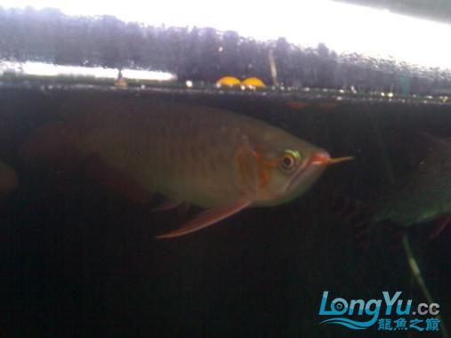 【西安哪个水族馆有金龙】闲来无事发发辣椒的照片 西安观赏鱼信息 西安博特第2张