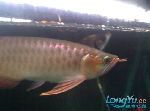【西安哪个水族馆有金龙】闲来无事发发辣椒的照片 西安观赏鱼信息 西安博特第4张