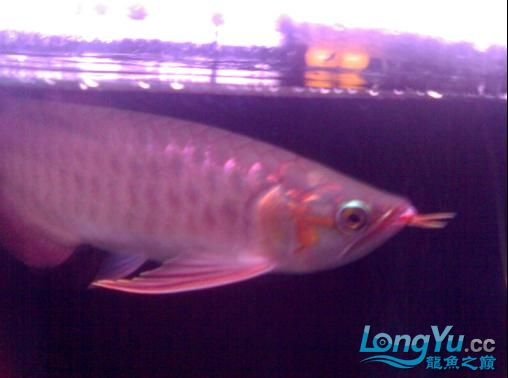 【西安哪个水族馆有金龙】闲来无事发发辣椒的照片 西安观赏鱼信息 西安博特第5张