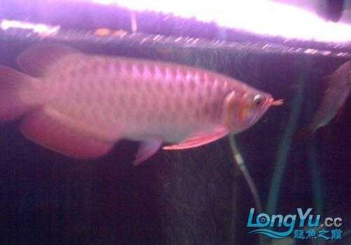 【西安哪个水族馆有金龙】闲来无事发发辣椒的照片 西安观赏鱼信息 西安博特第7张
