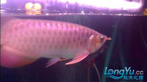 【西安哪个水族馆有金龙】闲来无事发发辣椒的照片 西安观赏鱼信息 西安博特第8张