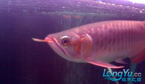 【西安哪个水族馆有金龙】闲来无事发发辣椒的照片 西安观赏鱼信息 西安博特第9张