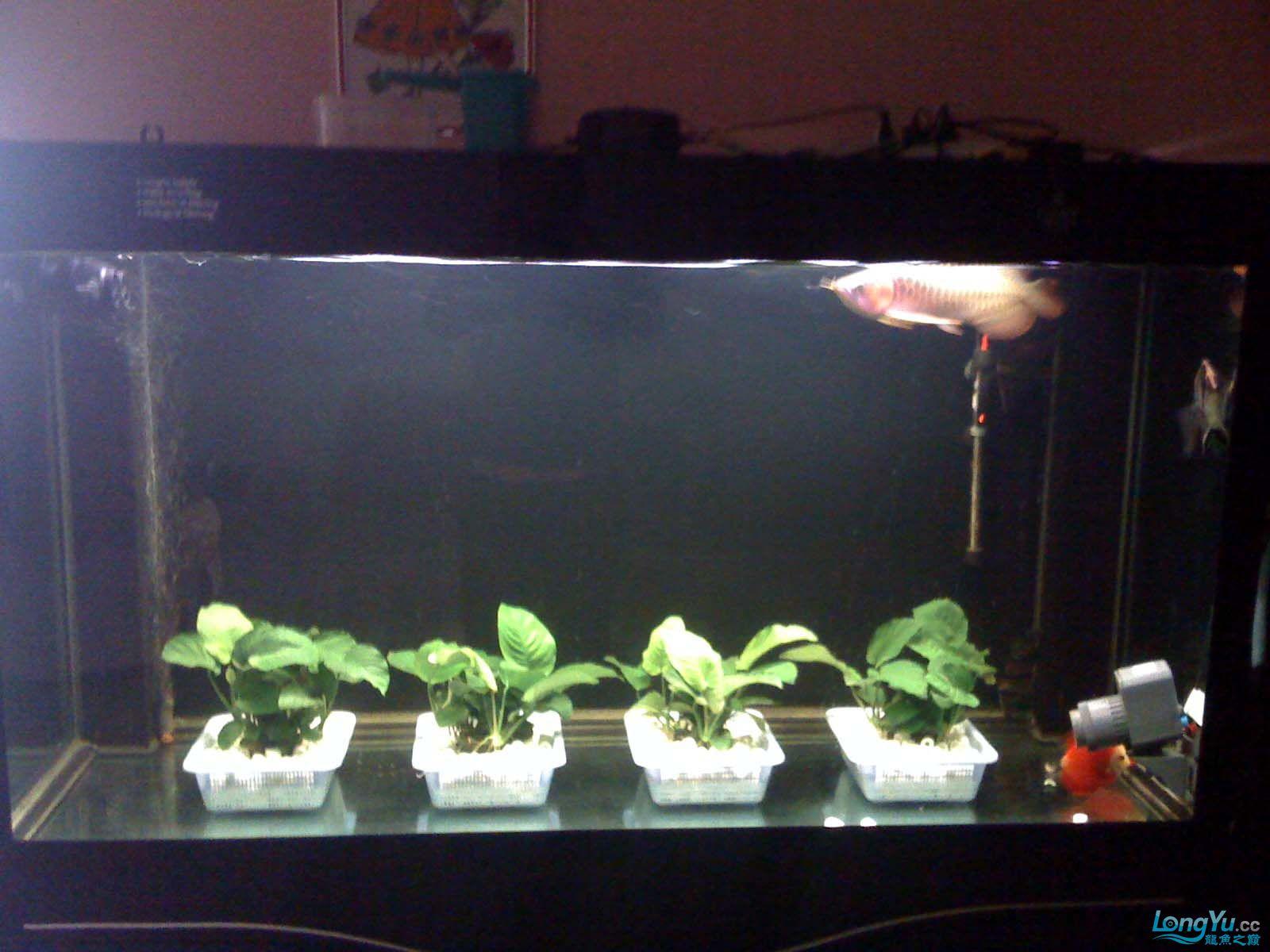 我【西安北郊鱼缸批发市场】的龙缸! 西安观赏鱼信息 西安博特第1张