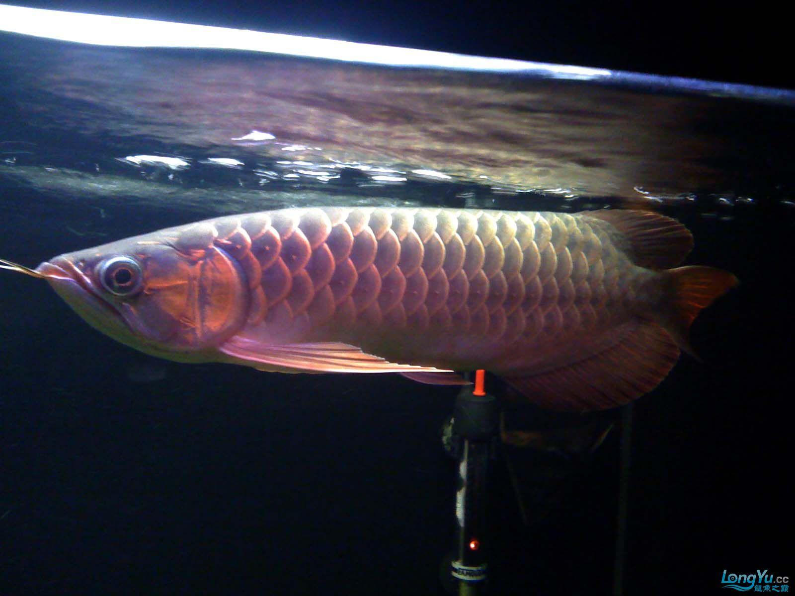 我【西安北郊鱼缸批发市场】的龙缸! 西安观赏鱼信息 西安博特第2张
