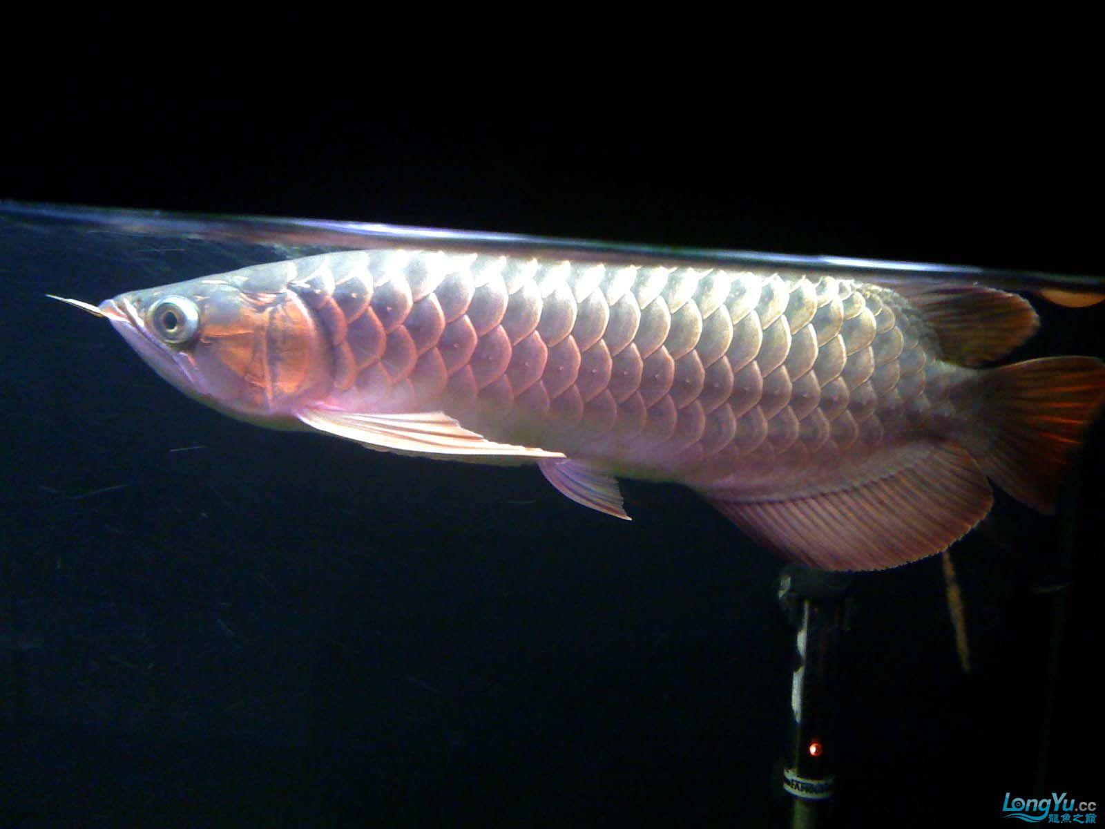 我【西安北郊鱼缸批发市场】的龙缸! 西安观赏鱼信息 西安博特第3张