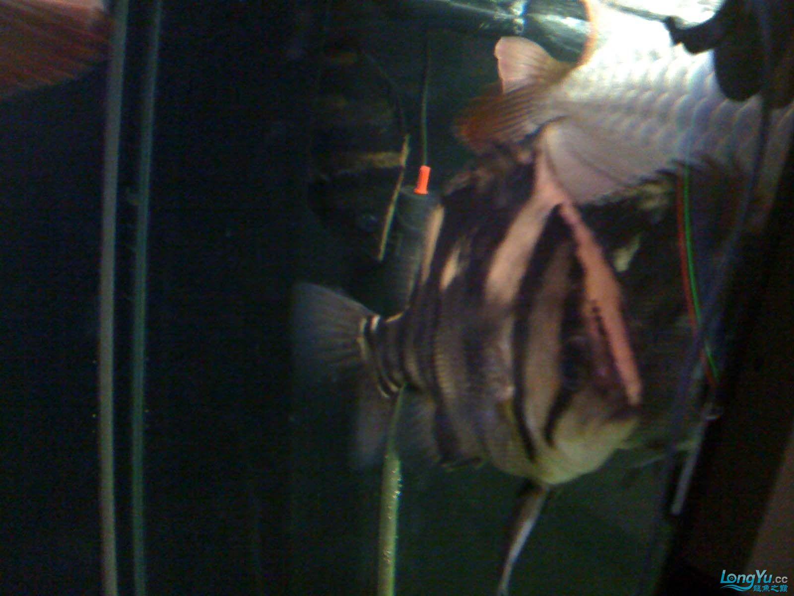 我【西安北郊鱼缸批发市场】的龙缸! 西安观赏鱼信息 西安博特第5张