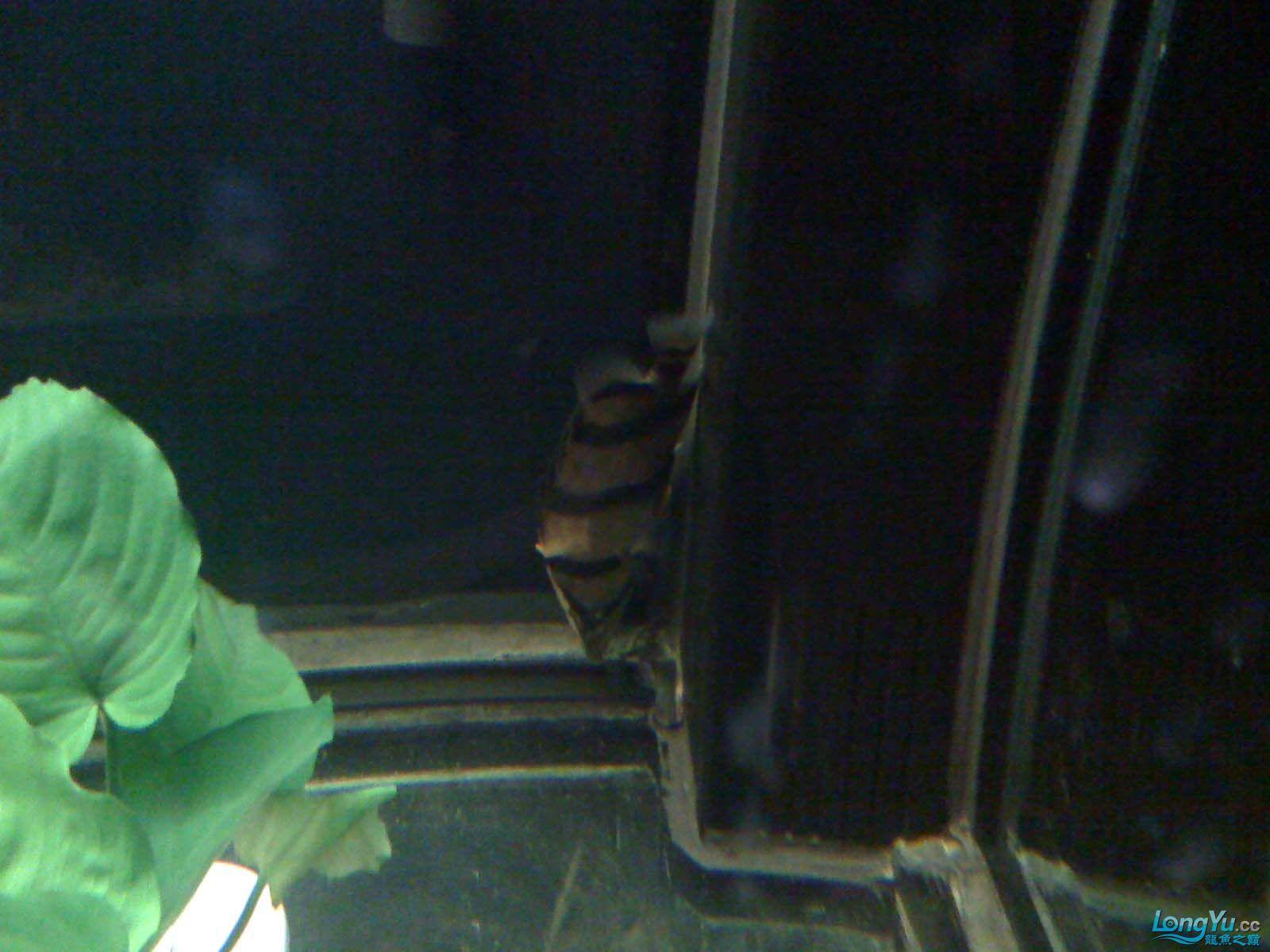 我【西安北郊鱼缸批发市场】的龙缸! 西安观赏鱼信息 西安博特第6张