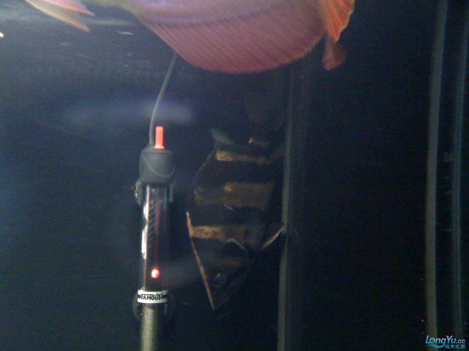 我【西安北郊鱼缸批发市场】的龙缸! 西安观赏鱼信息 西安博特第7张